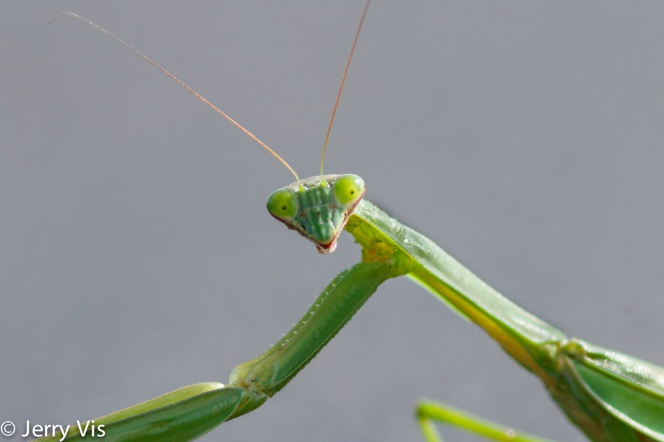 Praying mantis, 600 mm