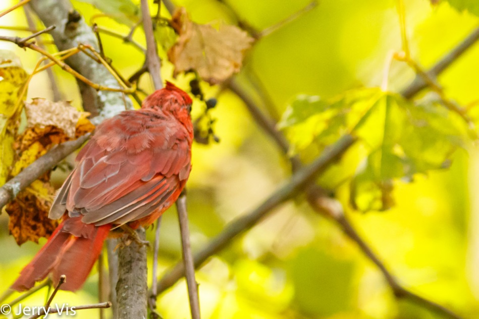 Northern cardinal in the fall color