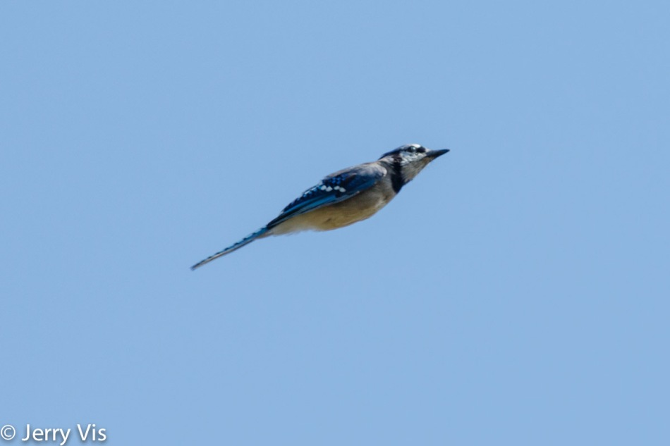 Rocket blue jay in flight