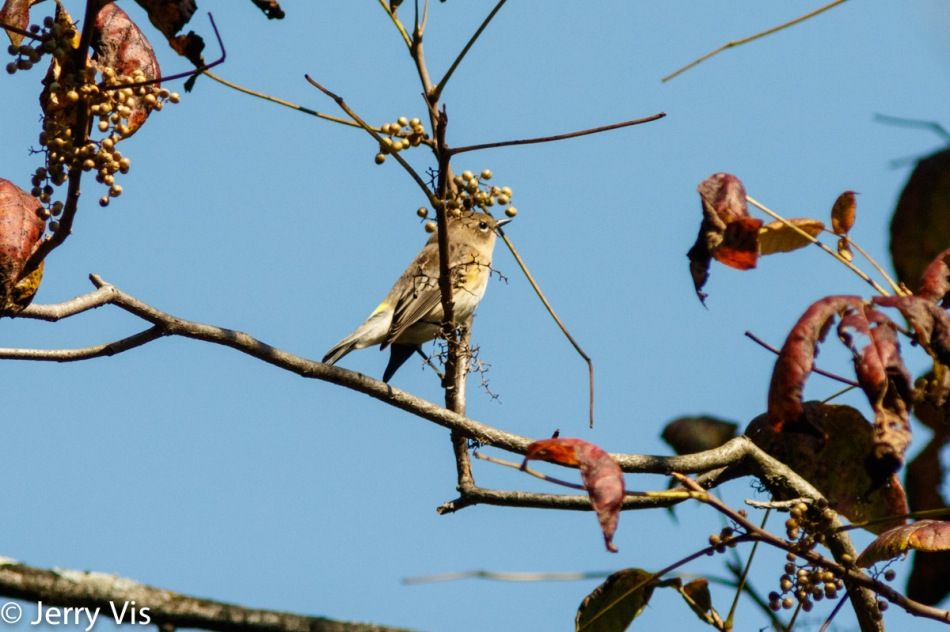 Yellow-rumped warbler and poison ivy berrries