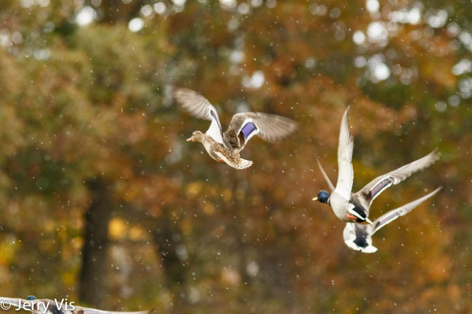 Mallards in flight in the snow