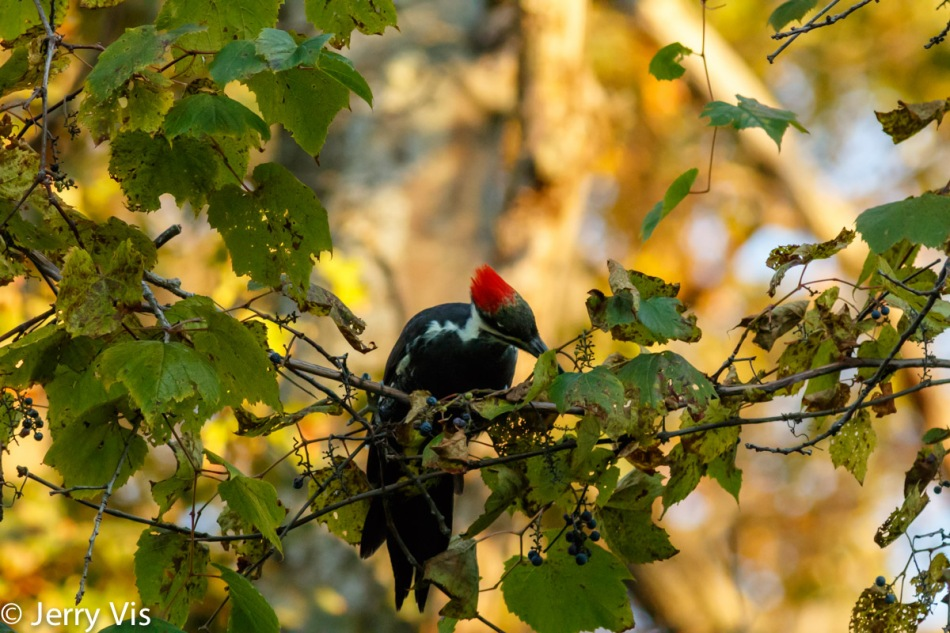 Pileated woodpecker eating grapes