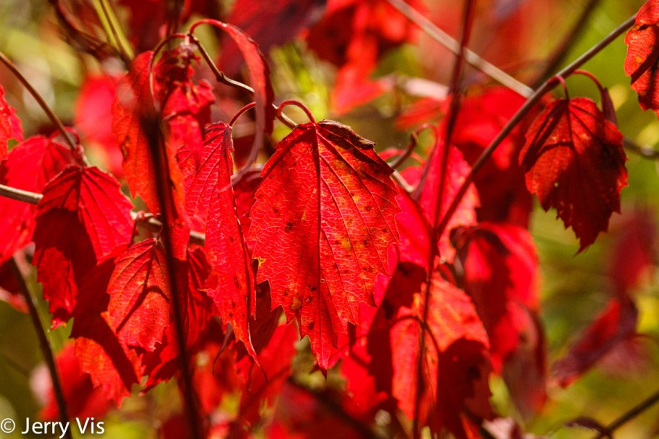Vivid red leaves