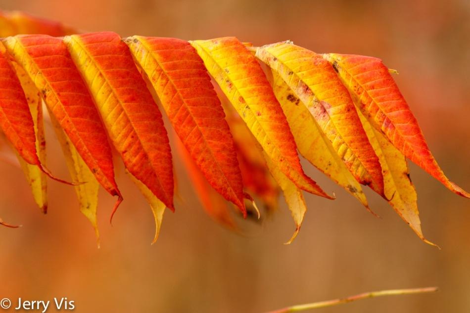 More sumac leaves