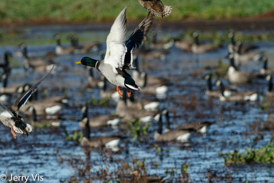 Mallards and Canadian geese