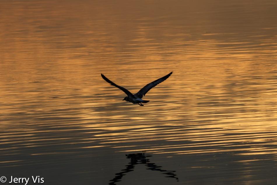 Sunrise gull in flight