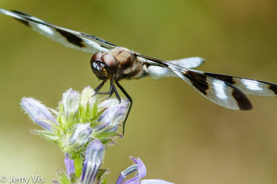 Dragonfly on flower buds