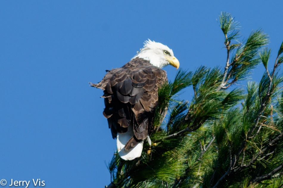 Wind blown bald eagle