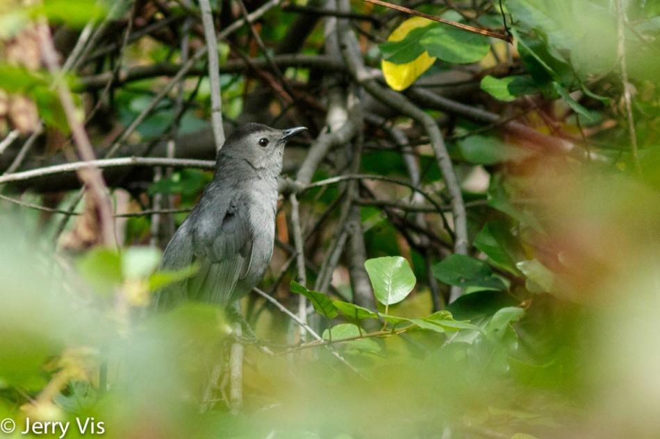 Grey catbird hiding