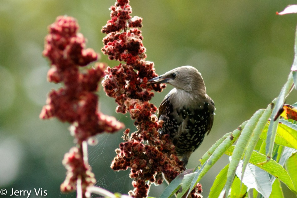 Starling eating sumac drupes