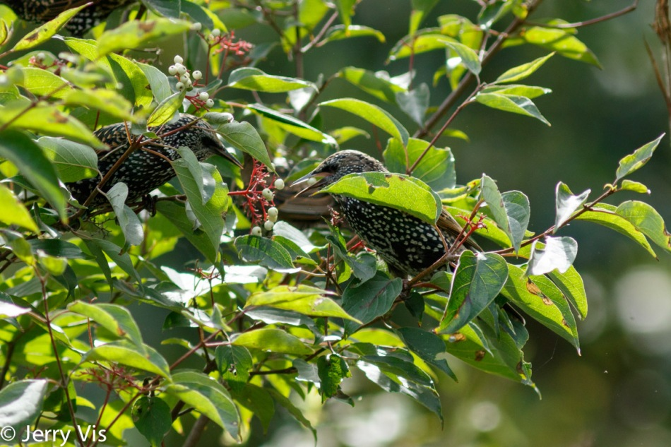 Starling eating red osier dogwood berries