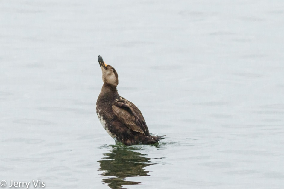 Juvenile black scoter