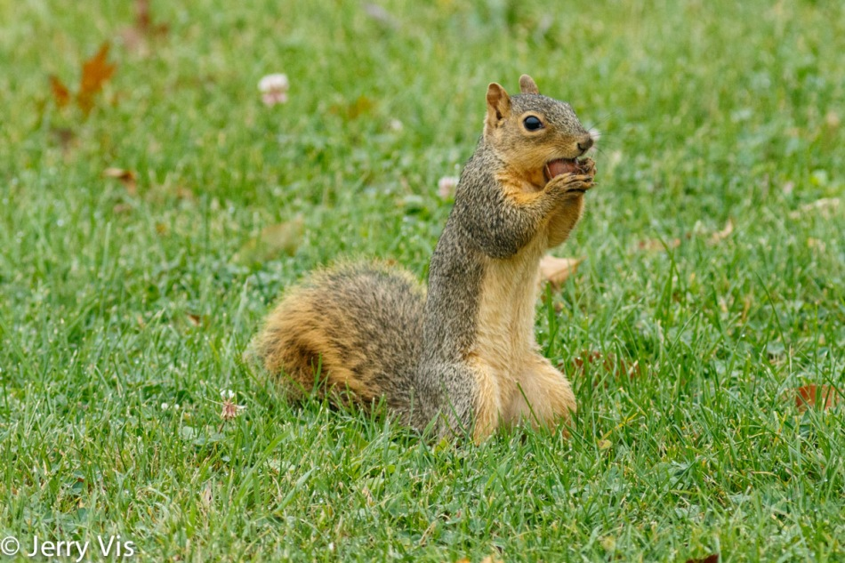 Fox squirrel gathering acorns