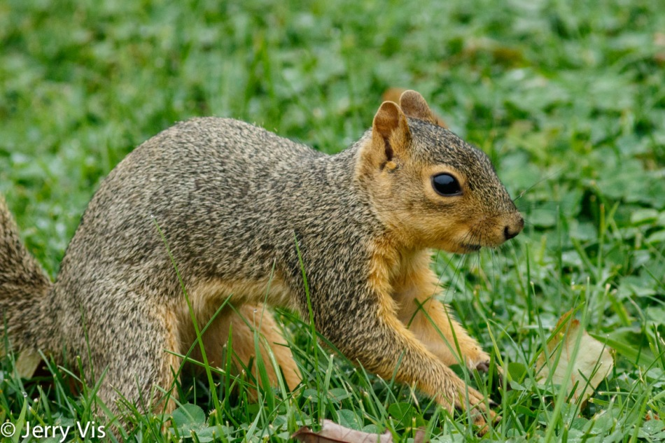 Fox squirrel burying an acorn