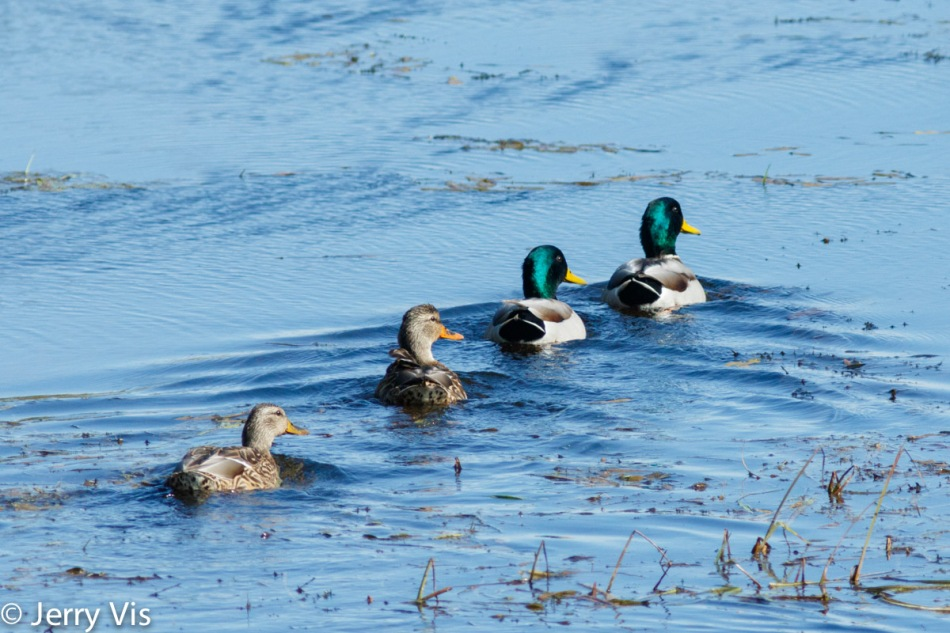 Mallards in a row