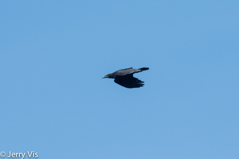 Common raven inflight