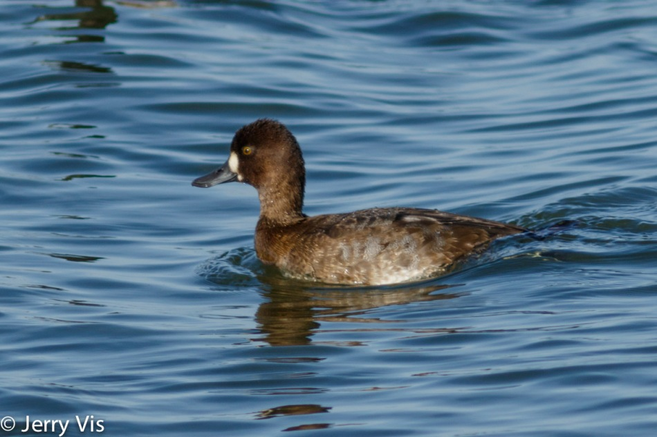 Female lesser scaup