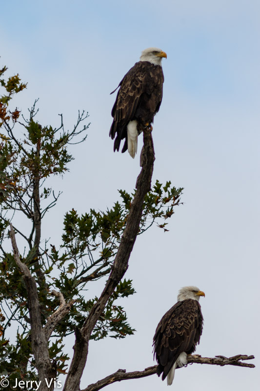 Two adult bald eagles