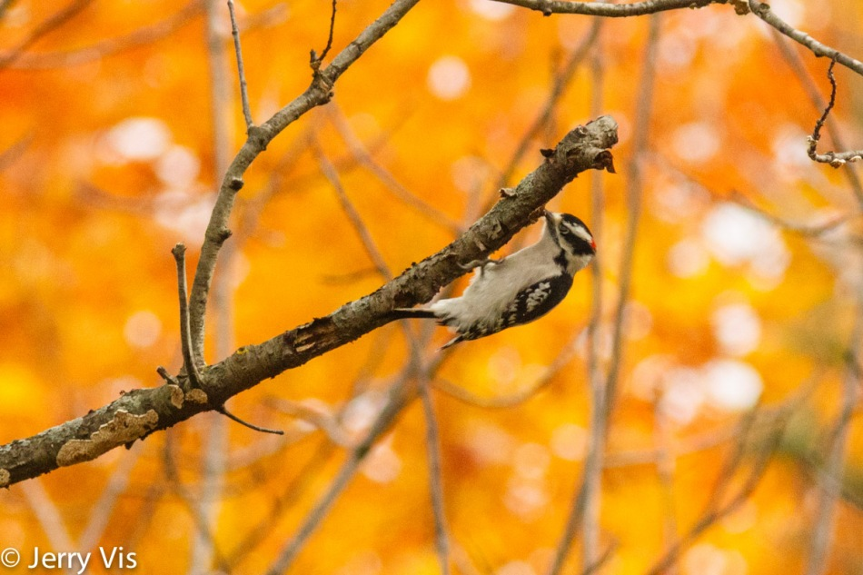 Downy woodpecker in the fall