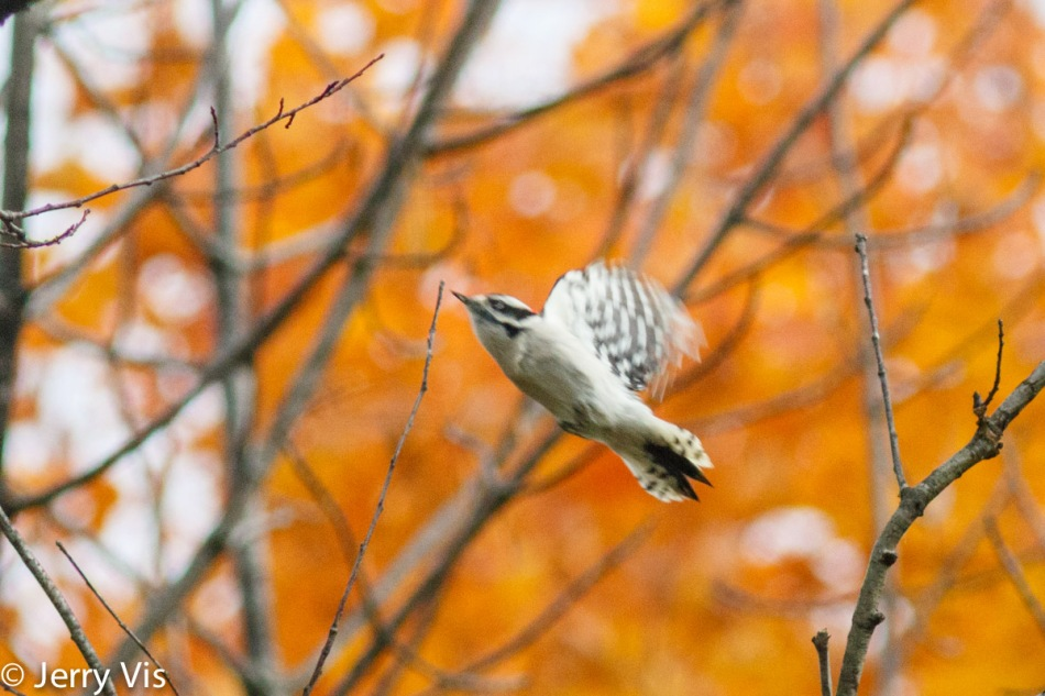 Flying downy woodpecker in the fall
