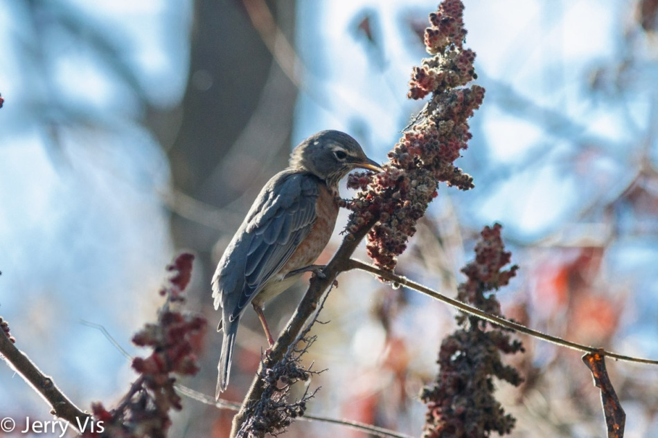 American robin eating sumac