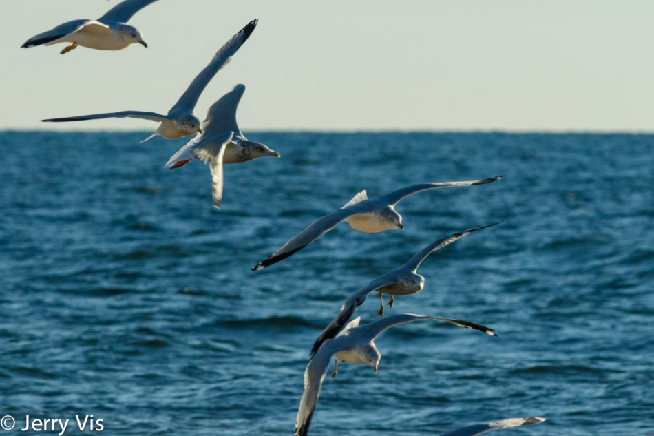 Gulls flying in formation