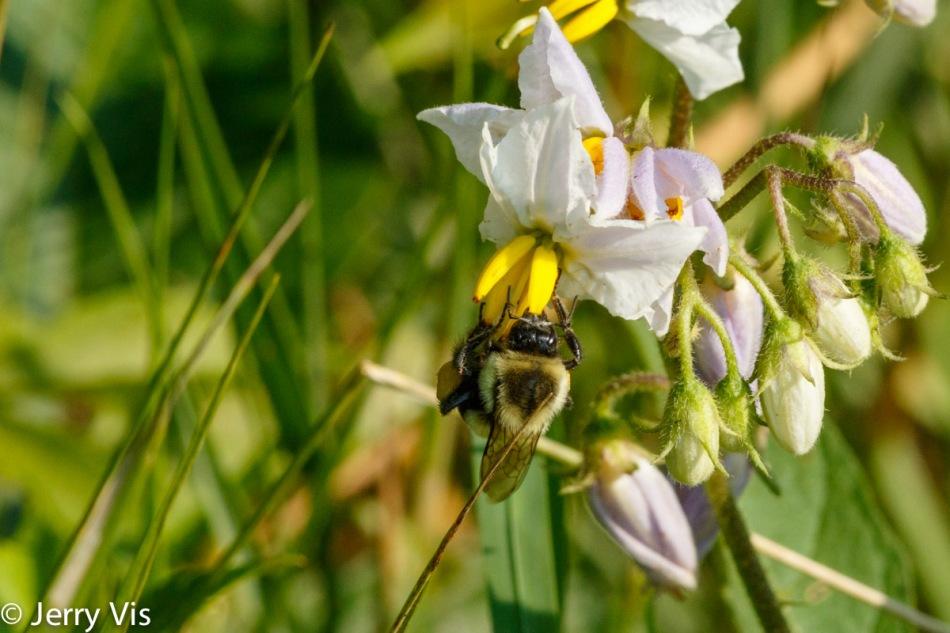 Bumblebee on dead nettle