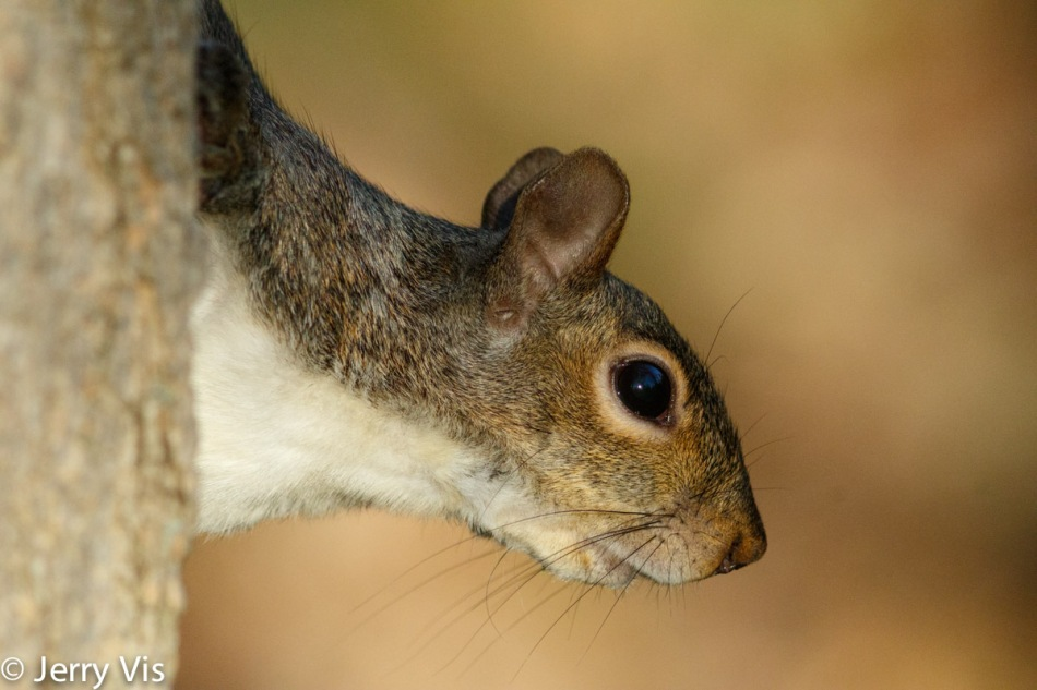Grey squirrel, up close and not cropped