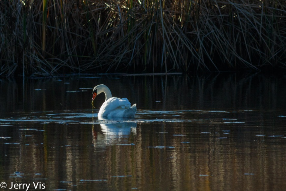 Backlit mute swan in the sun's spotlight