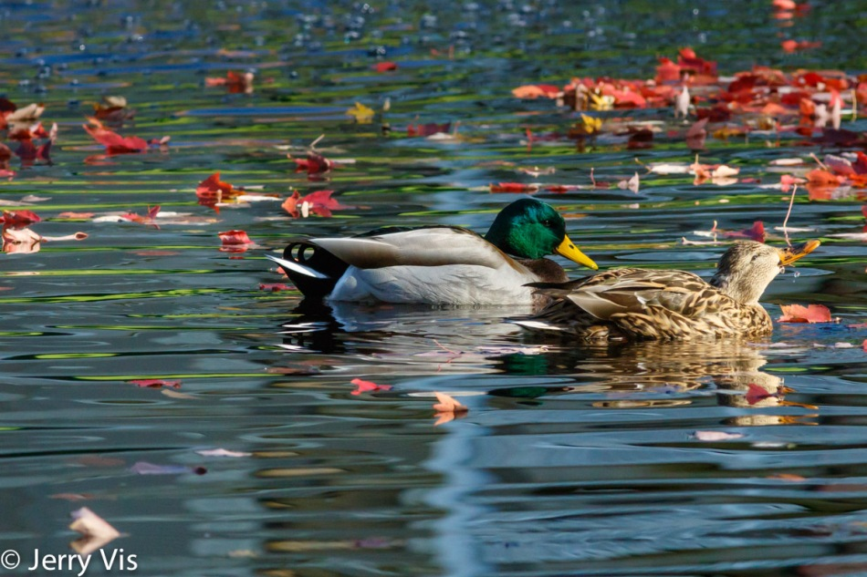 Mallard pair in the fall
