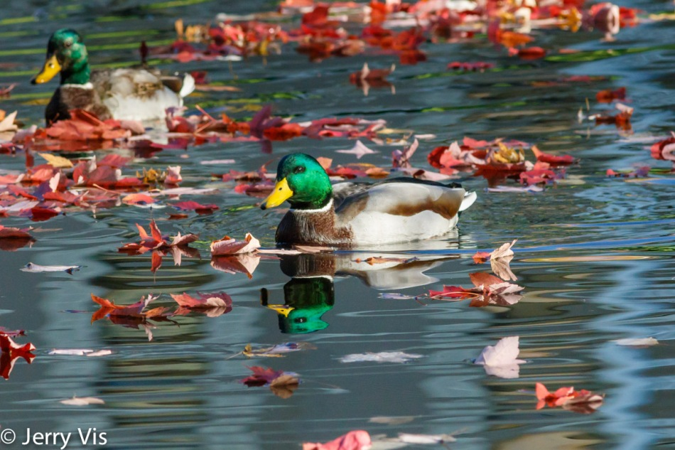 Fall floating with the mallards