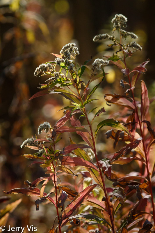 Fall goldenrod
