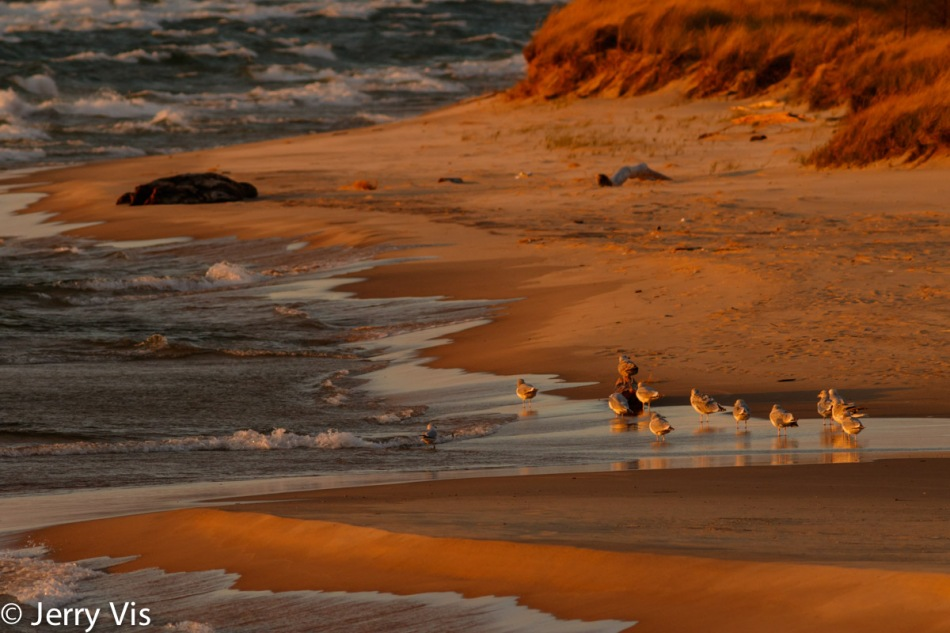 Gulls on the beach at sunset