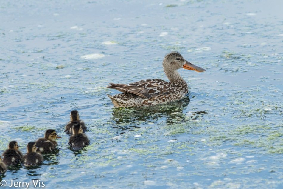 Female northern shoveler and ducklings