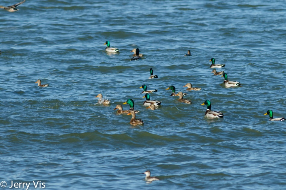 Mostly mallards with a couple of ruddy ducks