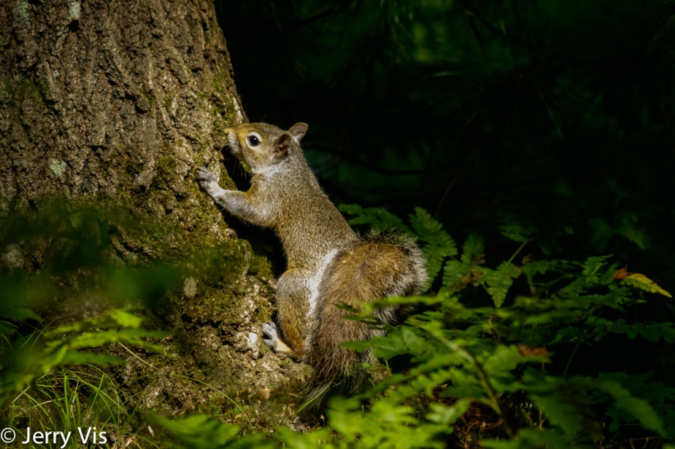 Grey squirrel in the sunlight