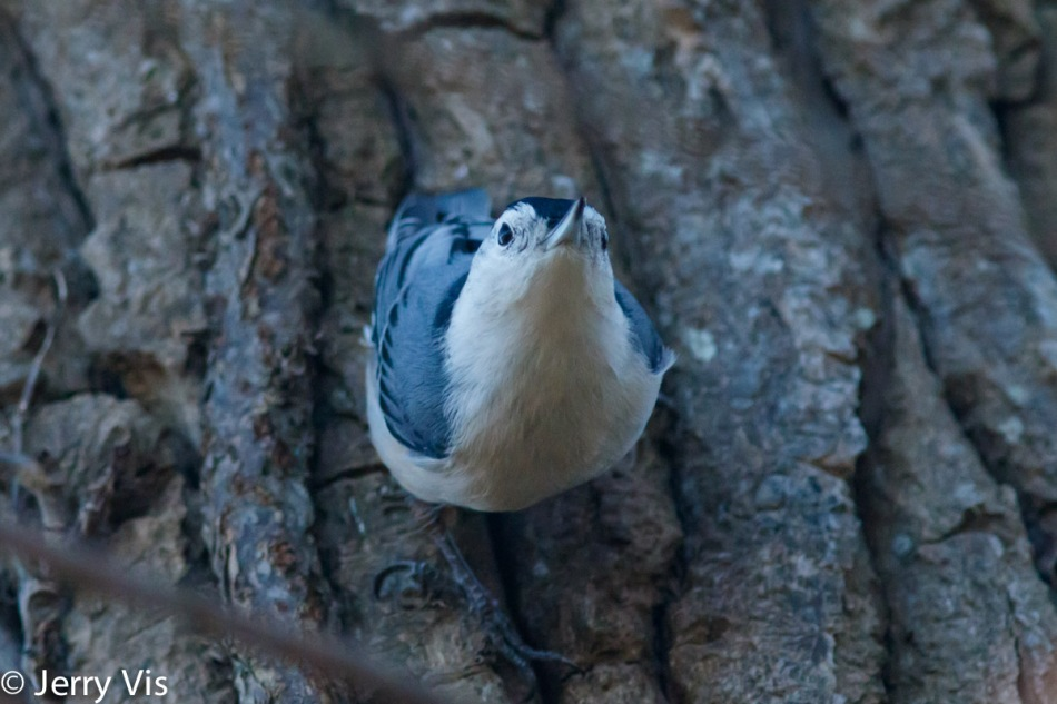 """Blue"" white-breasted nuthatch"