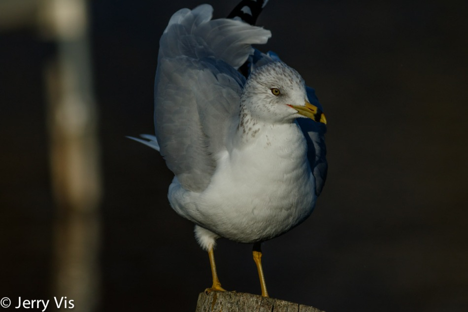 Ring-billed gull flexing