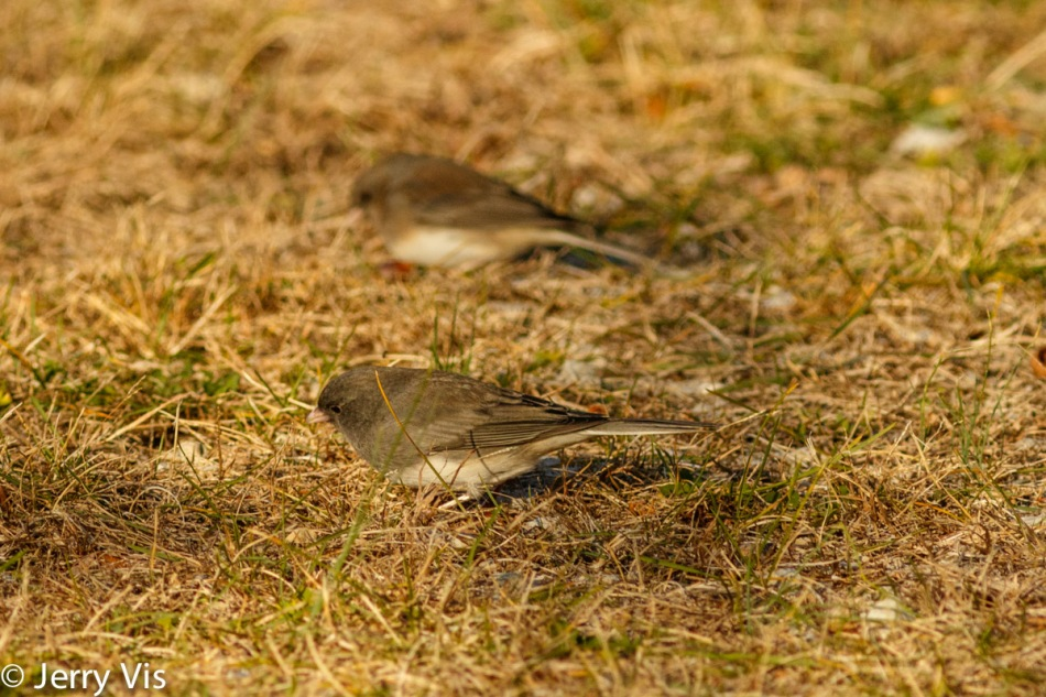 Dark-eyed juncos