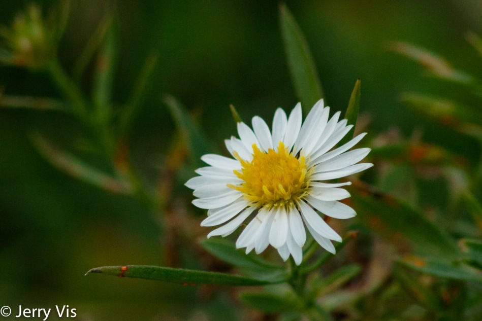 The last aster of the year?