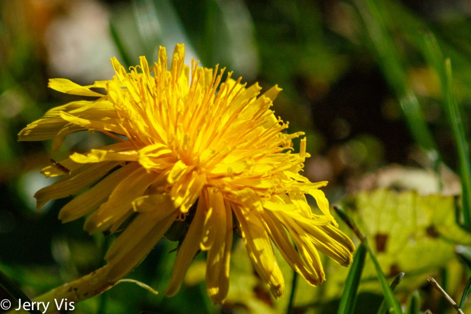 Late fall dandelion