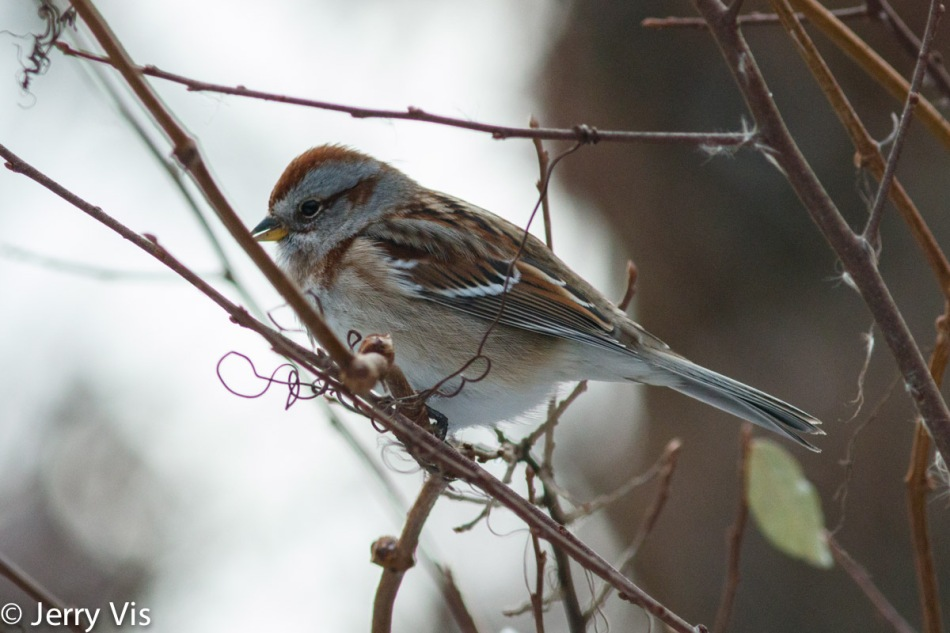 American tree sparrow singing in November