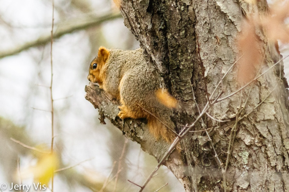 Fox squirrel hiding