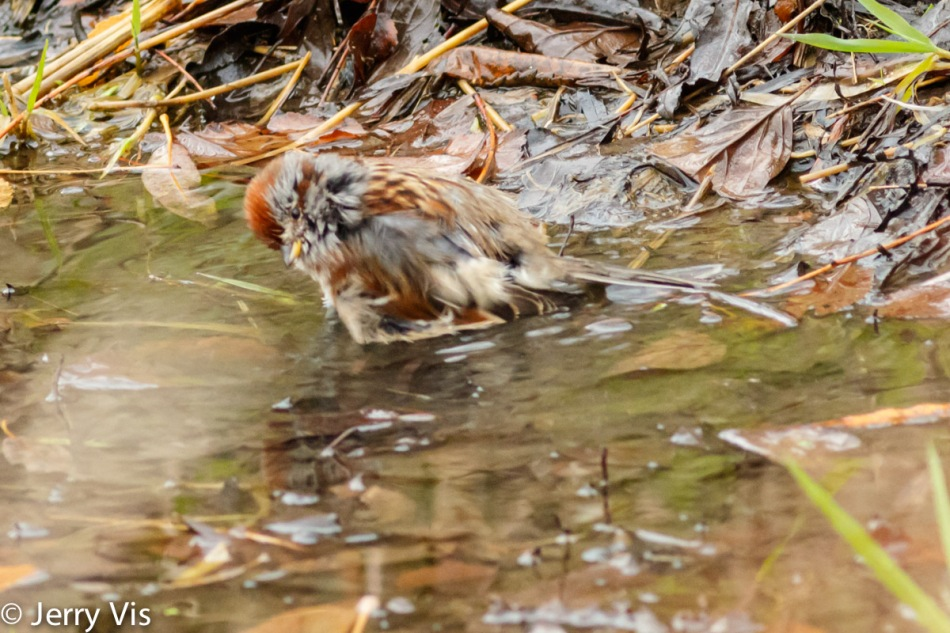 American tree sparrow bathing