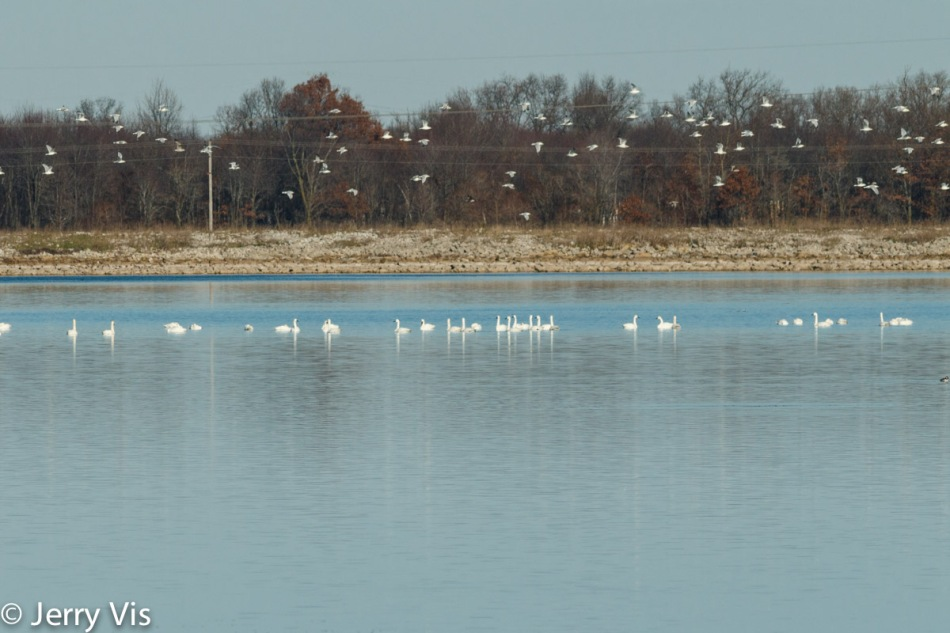 Tundra swans with gulls flying over them
