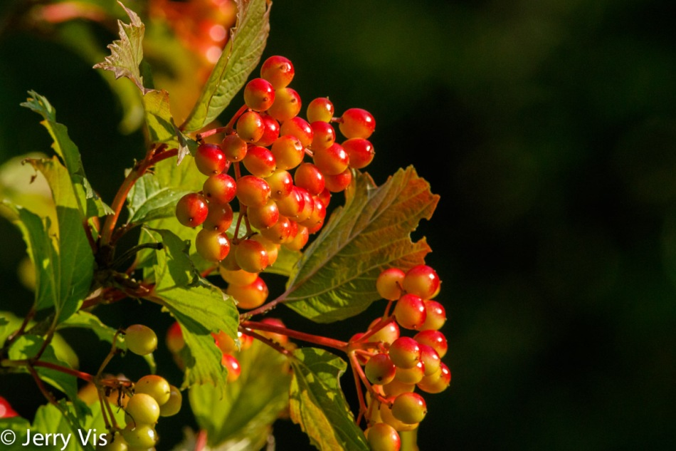 High bush cranberry still life
