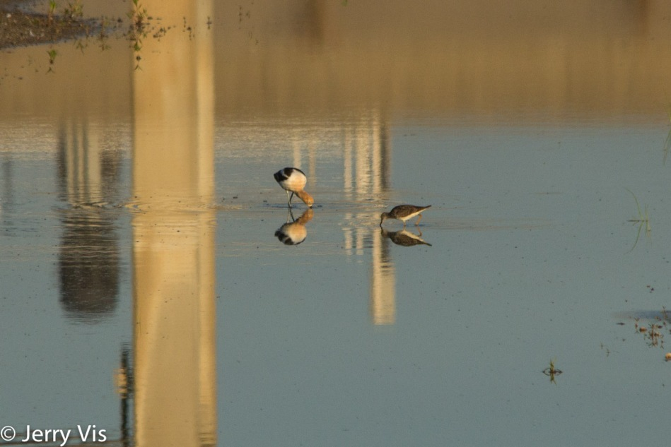 American avocet and yellowlegs for size comparison