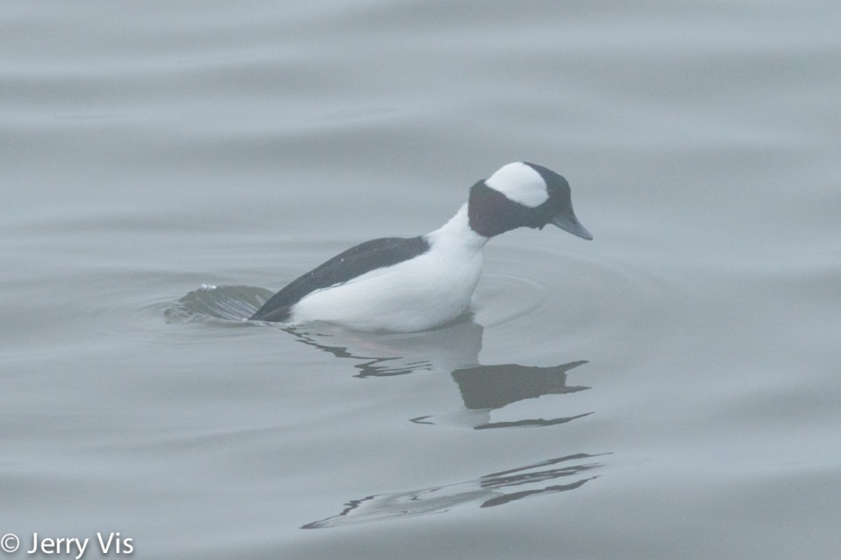 Male bufflehead diving
