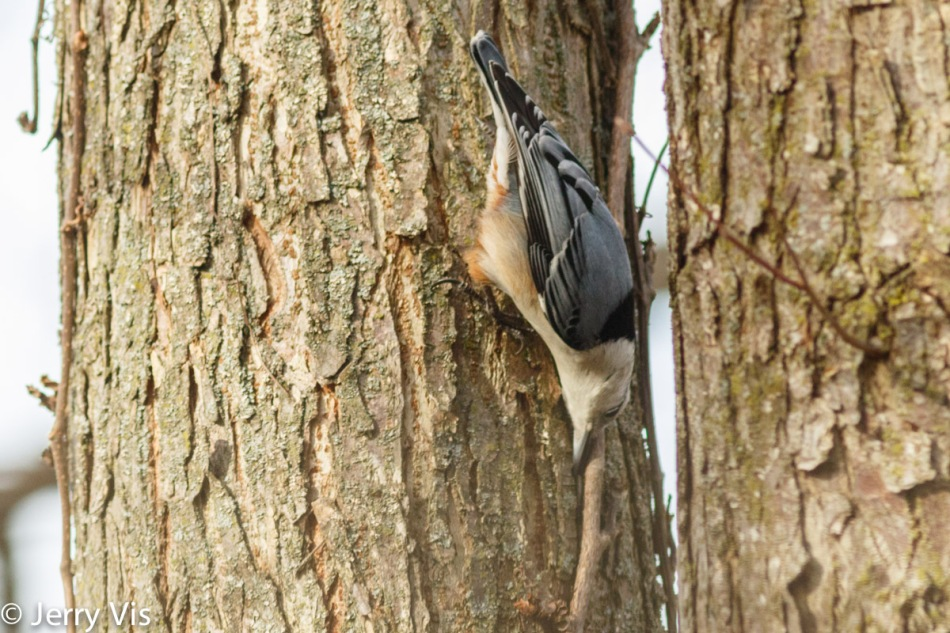 White-breasted nuthatch finding a seed