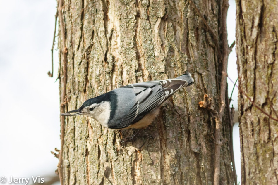 White-breasted nuthatch with a sunflower seed